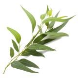 Eucalyptus  有機尤加利