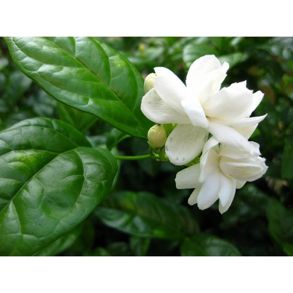 3% Jasmine Absolute in jojoba oil 茉莉