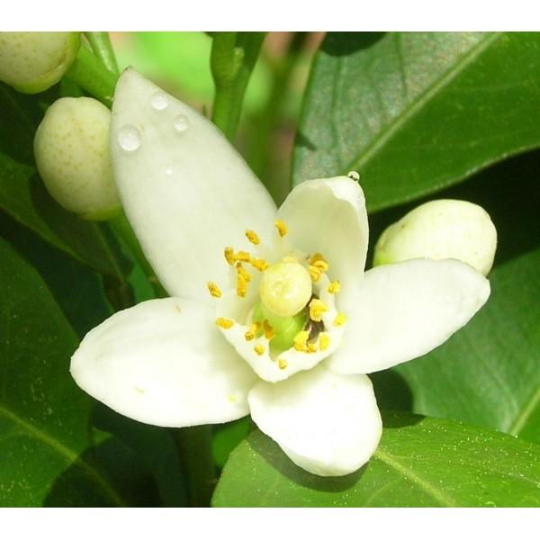 Orange Blossom Hydrolat 橙花有機花水